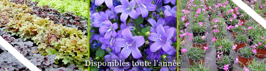 Vente de plantes vivaces plantes qui durent plusieurs ann es - Plantes vivaces fleuries ...