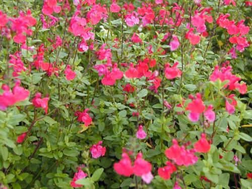 Arbres et arbustes pour jardin : haies et décoration